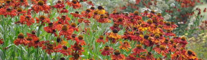 Helenium-moerheim-beauty1