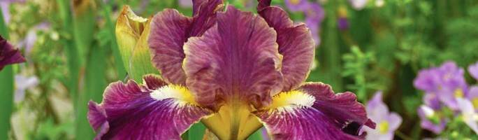 Iris-blackcurrant