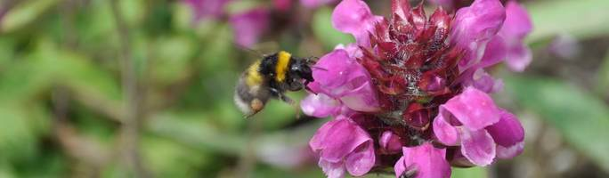 Bee-on-prunella-altenberg-rosa