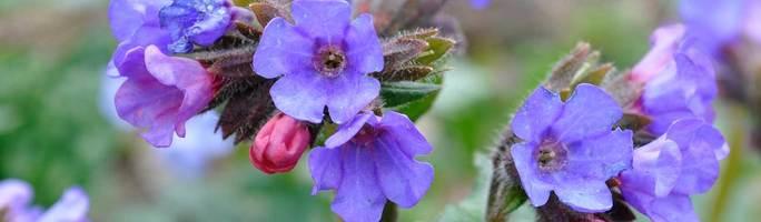Pulmonaria-big-blue