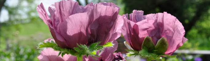 Papaver-pattys-plum4
