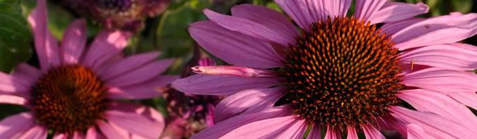 Echinacea-magnus5