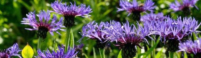 Centaurea-montana10