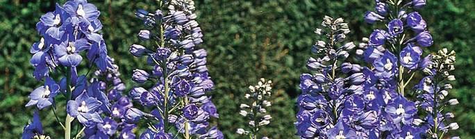 Delphinium-blue-bird