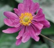 Anemone hupehensis 'Prinz Heinrich'