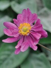 Mpp_anemone-prinz-heinrich1