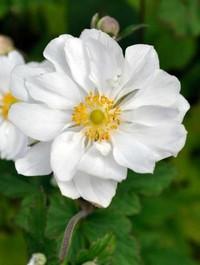 Anemone x hybrida 'Whirlwind'