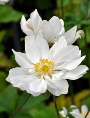 Anemone x hybrida Whirlwind Claire Austin