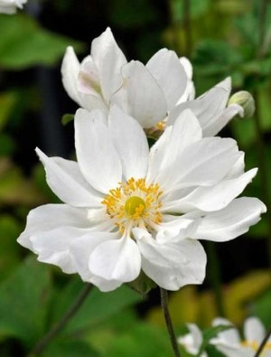 Image result for anemone whirlwind