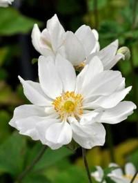 Mpp_anemone-whirlwind2