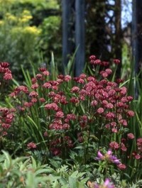 Mpp_astrantia-major-rubra