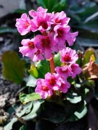 Bergenia 'Herbstblute'