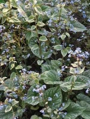 Brunnera macrophylla 'Silver Wings'