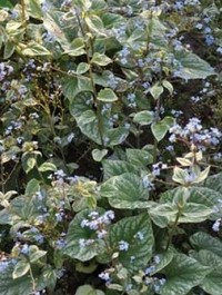 Brunnera macrophylla 'Silver Wings'
