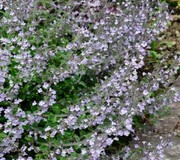 Calamintha nepeta 'Blue Cloud'
