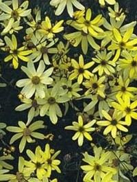 Mpp_coreopsis-moonbeam