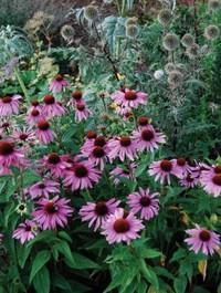 Mpp_echinacea-purpurea2