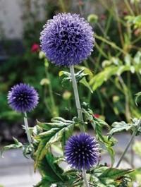 Mpp_echinops-veitchs-blue7