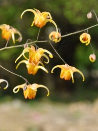 Mpp_epimedium-amber-queen2