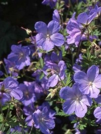 Mpp_geranium-johnsons-blue2