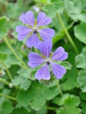 Geranium 'Philipe Vapelle'