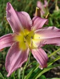 Mpp_hemerocallis-lilting-lavender