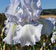 Iris 'English Cottage'