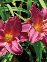 Mpp_hemerocallis-summer-wine