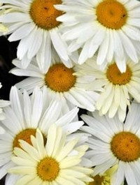 Mpp_leucanthemum-broadway-lights1