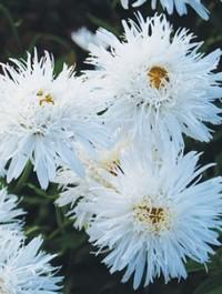 Leucanthemum x superbum 'Aglaia'