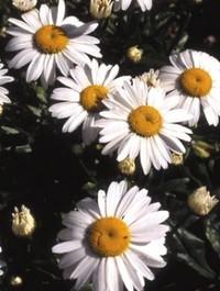 Mpp_leucanthemum-snowcap