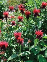 Mpp_monarda-cambridge-scarlet