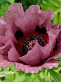 Mpp_papaver-pattys-plum2