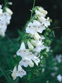 Mpp_penstemon-white-bedder