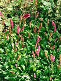 Mpp_persicaria-affinis4