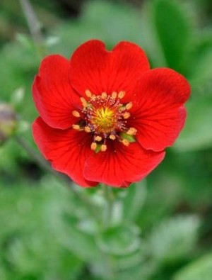 Potentilla 'Gibson's Scarlet'