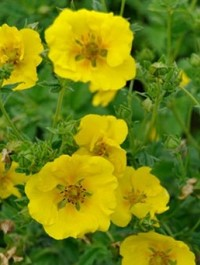 Mpp_potentilla-yellow-queen1