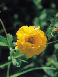Mpp_potentilla-yellow-queen3