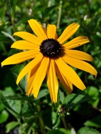Mpp_rudbeckia-goldstrum6