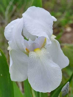 Iris 'Florentina'