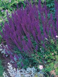 Mpp_salvia-nemorosa-ostfried
