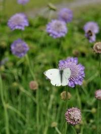 Mpp_scabiosa-butterfly-blue2