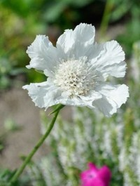 Scabiosa causasica 'Miss Willmott'