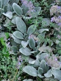Mpp_stachys-silver-carpet