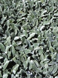 Mpp_stachys-silver-carpet1