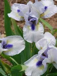 Iris-forever-blue1