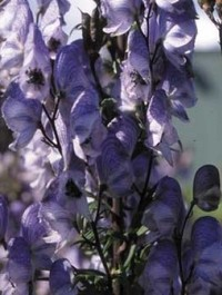 Mpp_aconitum-stainless-steel