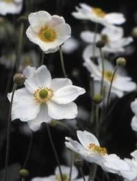 Mpp_anemone-honorine-jobert