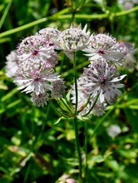 Mpp_astrantia-major-sunningdale-var