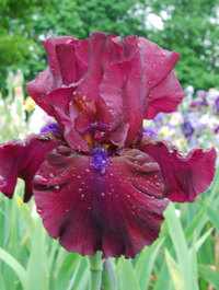 Iris 'Fortunate Son'